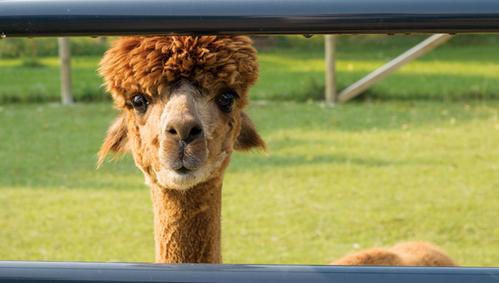 Dowagiac Alpaca farm to host open house