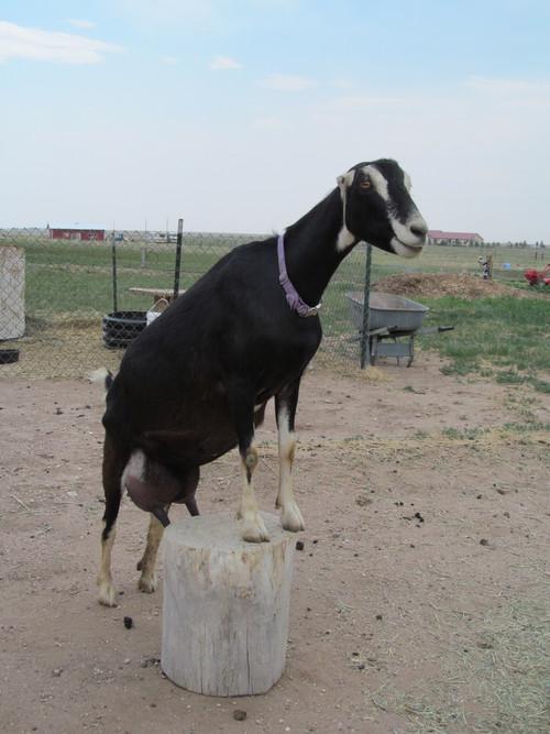 goatzz  goat farm located in shreve  ohio owned by dorothy