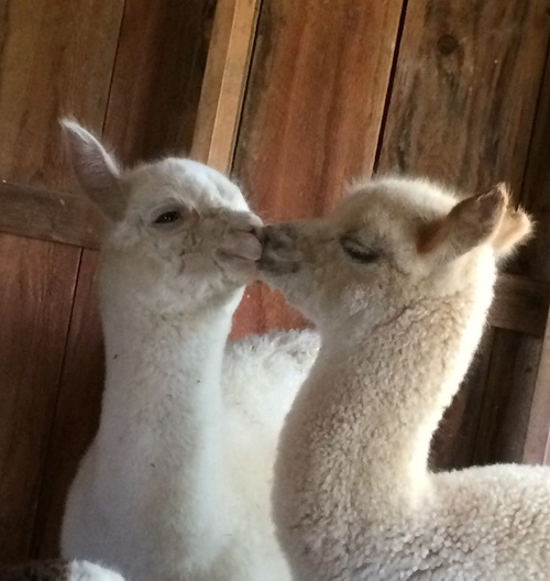 Smiling Moon Alpacas is an alpaca farm located in ...