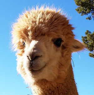 Alpaca store to open