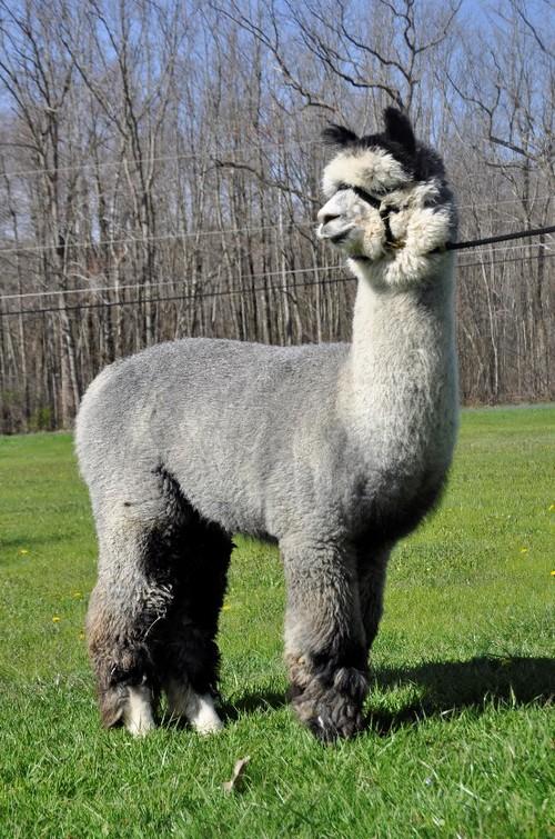 baby alpaca for sale