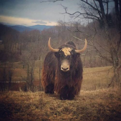 Yakzz: Yak Farm Located In Mouth Of Wilson, Virginia Owned