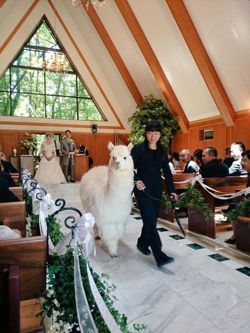 Japanese Hotel Lets You Rent an Alpaca as a Witness at Your Wedding