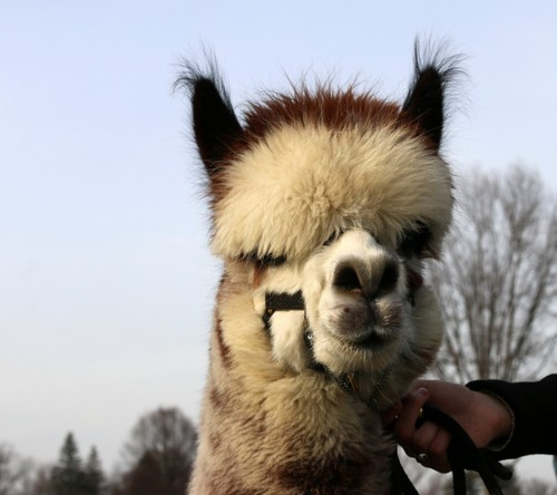Holyoke farmers training alpaca to become therapy animal