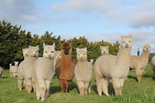 Eating alpaca meat gains popularity in Australia