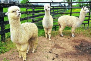 Alpacas' annual trim not all joy for animals at Washington County farm