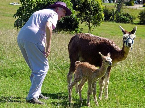 Alpaca injury was a crime of passion
