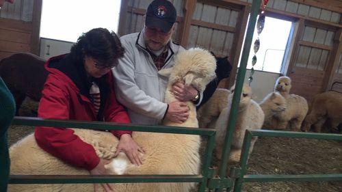 Raising alpacas — 'Curious and smart'