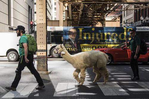 Photos: A Man Took His Alpaca For A Walk Around The Loop Monday
