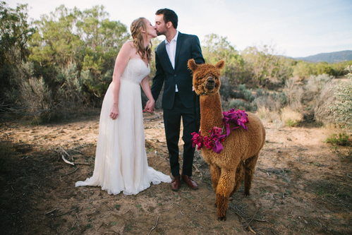 'Getting hitched' at Alpacas of Anza Valley Ranch offers unique photo opportunities