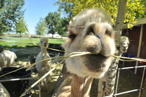 Tussy and her alpacas: A fantastical yarn about a Heyburn woman and her treasured animals