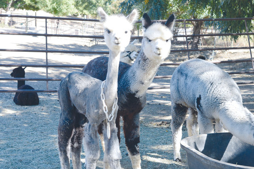 National Alpaca Farm Days visits offer opportunity for learning