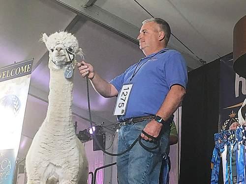 Alpacas fetch a pretty penny at auction