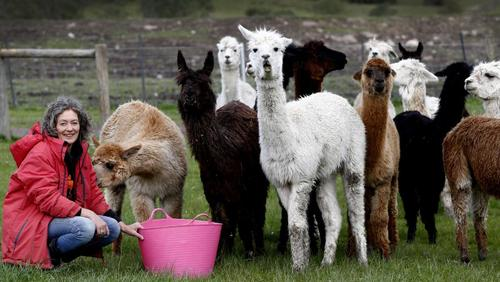 Future bright for rescued alpacas as Brightside Farm steps in to help 43 stricken animals