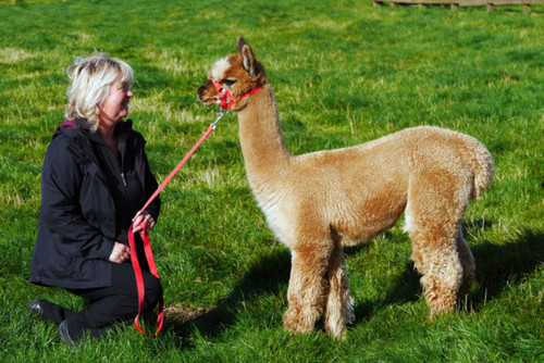 Alpaca couple reap rewards of thinking with their feet