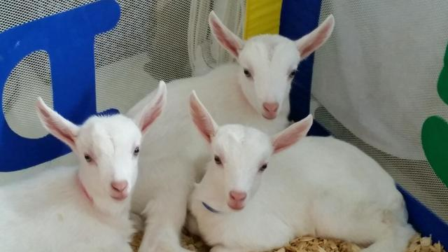 goatzz  goat farm located in clinton  indiana owned by
