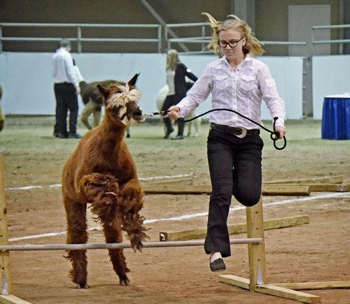 Alpacas take center stage Tuesday at Pennsylvania Farm Show
