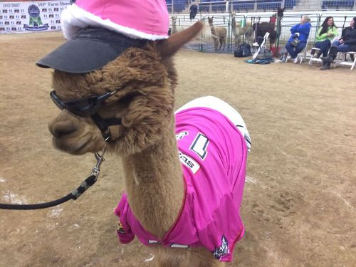Alpacas dressed for success at Farm Show