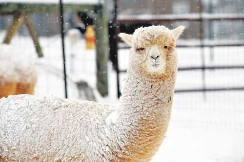 'Snow problem to be out in the cold -- if you're an alpaca