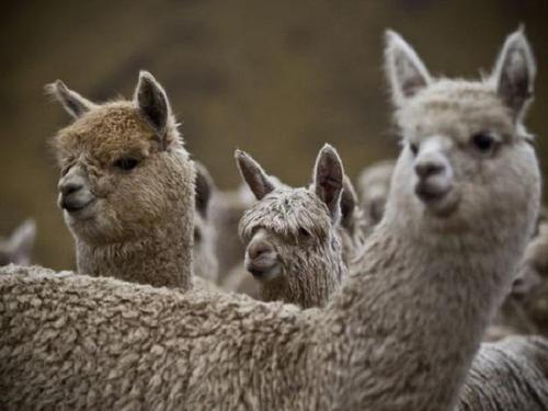 Unseasonable weather killing alpacas
