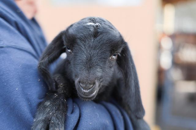 Dolly's F2 solid black blue eyed boy
