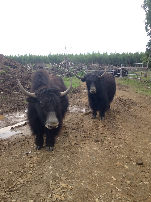 Sunny Hill Ranch Is A Yak Farm Located In Willow, Alaska