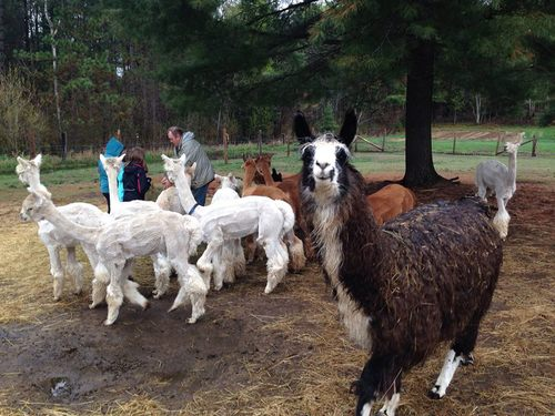 Meet and greet alpacas