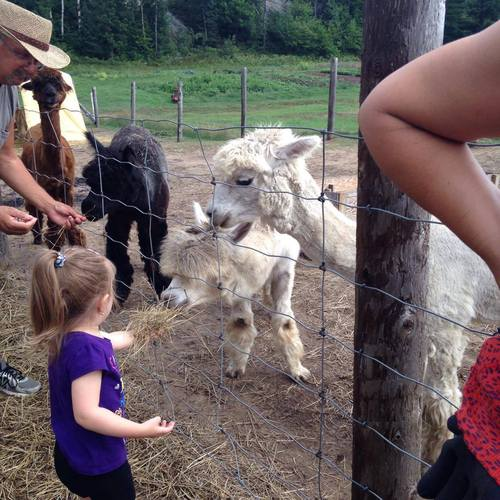 children and alpacas go well together