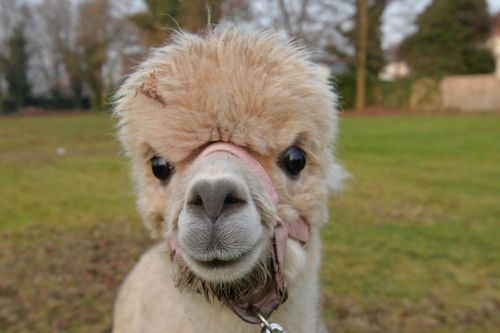 Wool I never! Alpacas have arrived at the urban farm