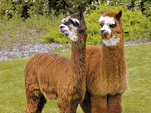 The 2017 National Alpaca Show is coming to Denver