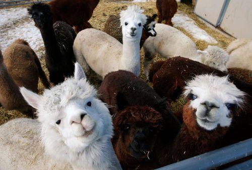 Molt family raises alpacas for profit — and fun