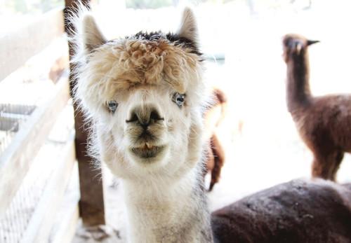 Castle Rock alpaca store sheds light on growing industry