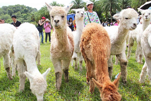 Booking essential! Thousands sign up to Sheffield alpaca walk after event goes viral on Facebook