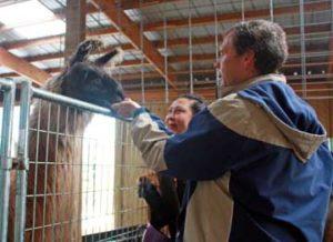 Raising alpacas and llamas brings peace for Hillman couple