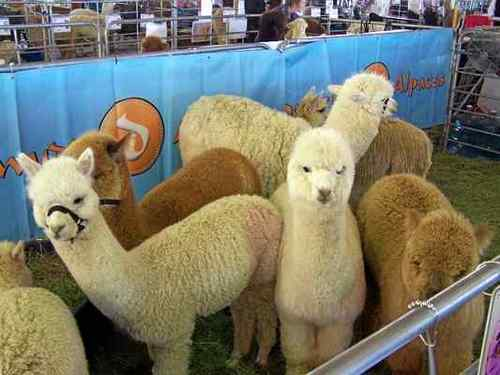 Annual alpaca show comes to Dixon this weekend