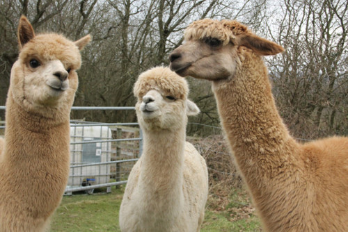 Special Report: Getting back to nature on a trek with valley's alpacas