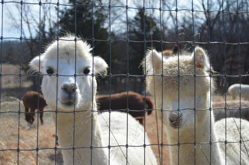 Off the Clock - Women Raising Alpacas, Creating Fabric