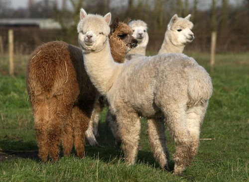 These Shearing Positions Could Stress Out Alpacas, Study Shows
