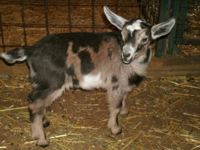 R Goats Goatzz: Goat fa...
