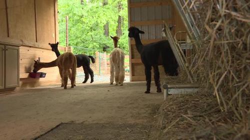 Alpaca industry leader visits Mount Sidney farm