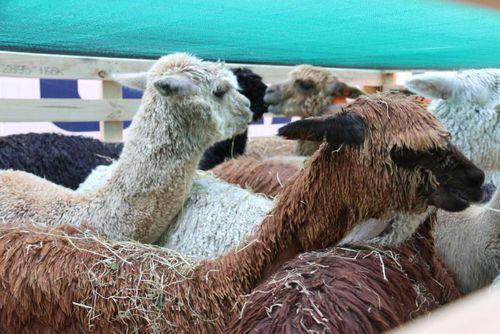 Australian alpacas bound for Europe stuck in New Zealand after quarantine mix-up