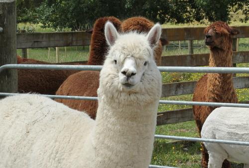 Aussie alpacas stuck in NZ after quarantine mix-up