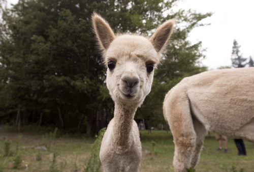 Alpaca farm welcomes newest arrival, baby Rainey