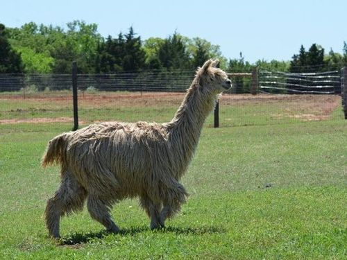 Improving alpaca fleece quality through nutrition