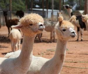 WINDRUSH ALPACAS OPEN FARM DAY