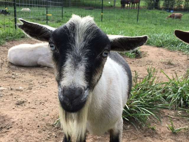 At Brooke Branch Nigerian Dwarf Goats, We Strive To Produce The Highest  Quality Goat For The Show Herd Or The Backyard Herd.