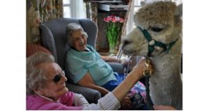 Alpacas Midnight Prince And Oliver Charm Care Home Residents