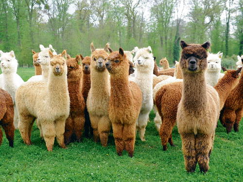 Hiking with Alpacas in Germany
