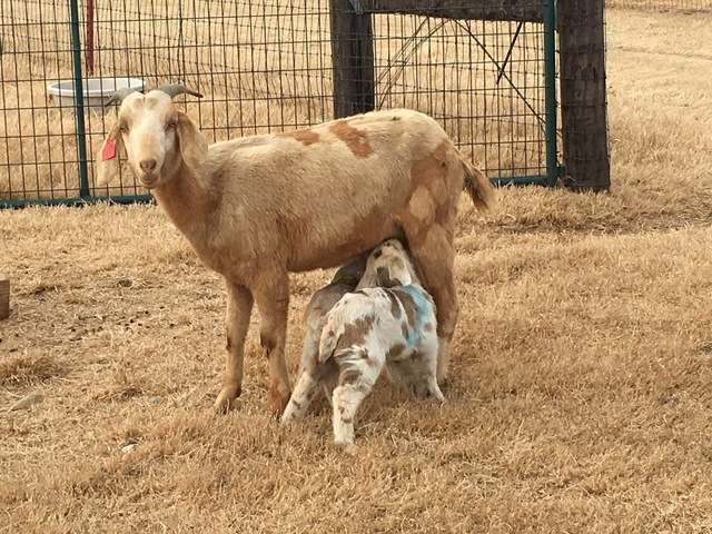 Sheep For Sale In Oklahoma City