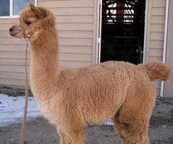 A huacaya alpaca.